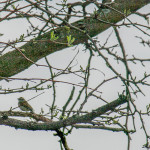 Sparrow on nearly bare branch