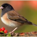 Junco with red berries